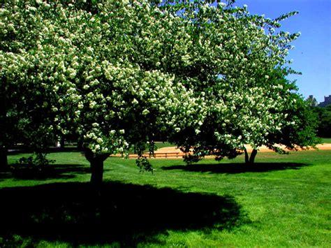 washington hawthorn washington hawthorn in central park
