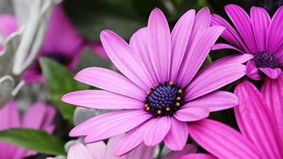 4k Daisy Flower Pink Flowers 5k Petal