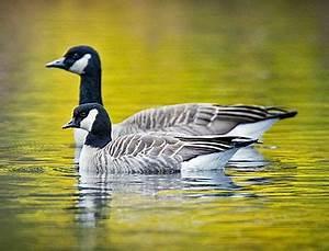 Greater Canada Goose Vs Lesser Canada Goose