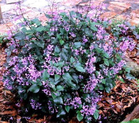 lavender plants in florida florida perennials flowers in florida florida plants