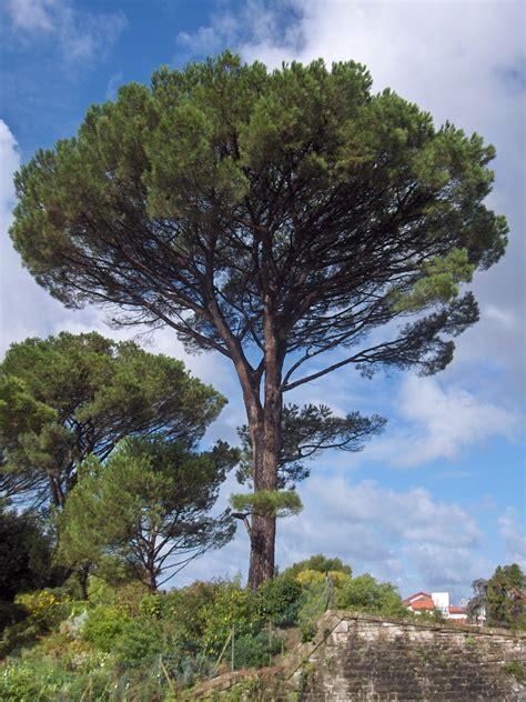 italian pine tree file pinus pinea bayonne jpg wikimedia commons 7609