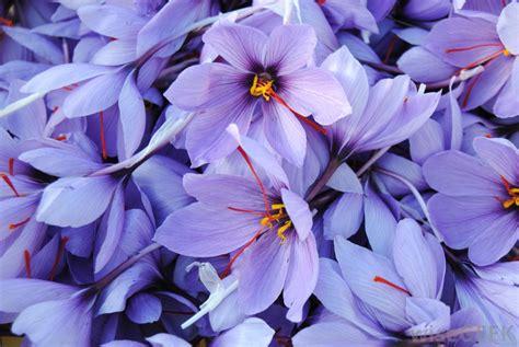 saffron tea  pictures