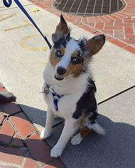 Australian Shepherd Ears Up