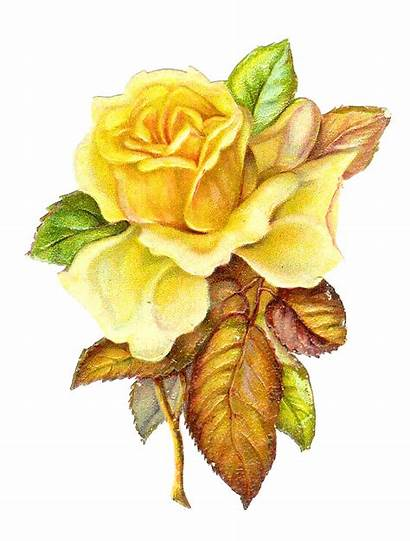 Yellow Flower Rose Clip Roses Printable Victorian