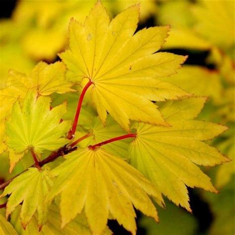japanese style garden plants acer shirasawanum 39 aureum 39 golden leaf moon