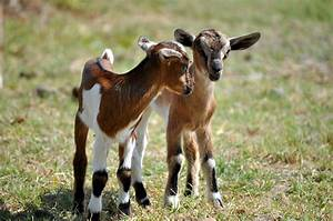 Goats Fed Gm Soybean Produce Abnormal Milk  Reduces Weight