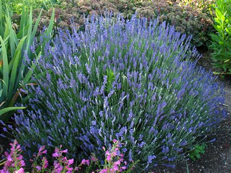 lavender bushes perennials lavender bushes perennials lavandula augustifolia hidcote blue english lavender another