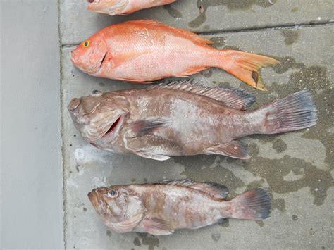 fish grouper anne mystic scene ugly