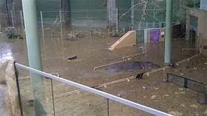 Hippos Escape Calgary Zoo Enclosure