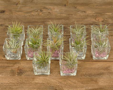 tillandsien im glas tillandsien im glas square mini corsa webshop luchtplantjes en tillandsia
