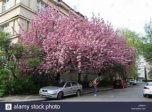 Rosa Blühende Bäume April : transcarpathia ukraine stockfotos transcarpathia ukraine bilder alamy ~ Michelbontemps.com Haus und Dekorationen