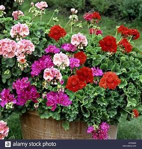 Wann Geranien Pflanzen : balkon blumen balkonblumen balkonblumen stock photo ~ Lizthompson.info Haus und Dekorationen