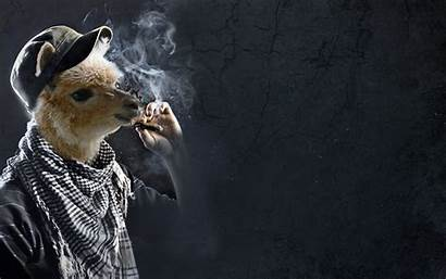 Funny Llama Smoking Wallpapers Backgrounds Desktop Llamas
