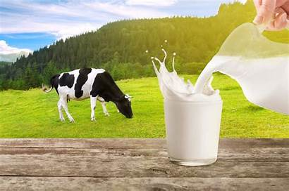 Milk Dairy Pouring Cow Cows Into Glass