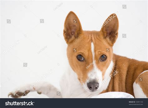 Smiling Basenji Dog Looking Directly At Viewer With ...
