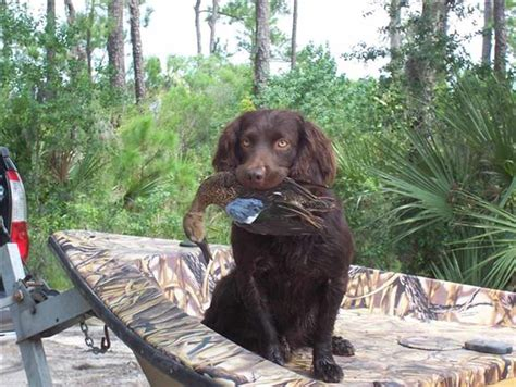 boykin spaniel dog breed standards
