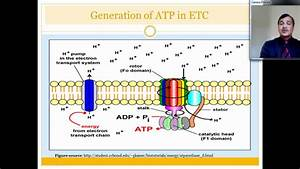 Electron Transport Chain  Etc  And Its Inhibitors