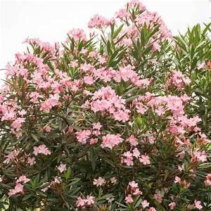Arbuste Plein Soleil Longue Floraison : plantes d 39 ext rieur sans arrosage 15 photos pour faire ~ Premium-room.com Idées de Décoration