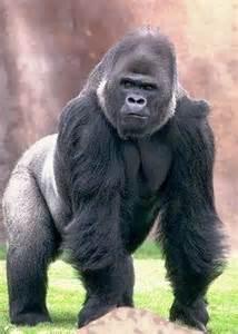 silverback gorilla ideas  pinterest baby