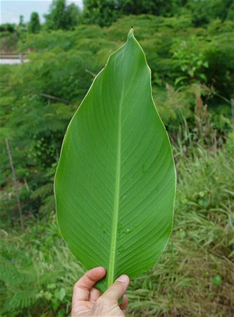 canna indica page