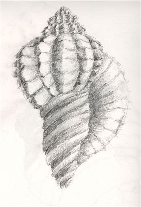 seashell drawing shading     ayoqq