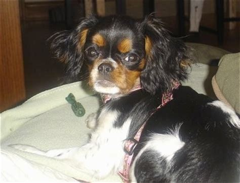 english toy spaniel dog breed information  pictures