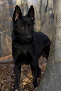 Black German Shepherd by Megan Noble