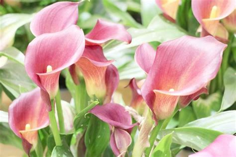 how to care for calla lilies indoors calla lily plant zantedeschia flower how to grow care indoors outdoors plantopedia