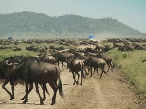 Wildebeest, Migration, Serengeti, Tanzania, Travelogue