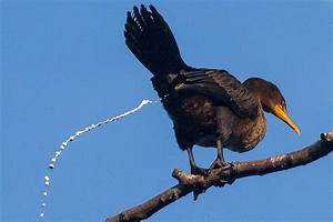 Cloaca Definition - Bird Anatomy