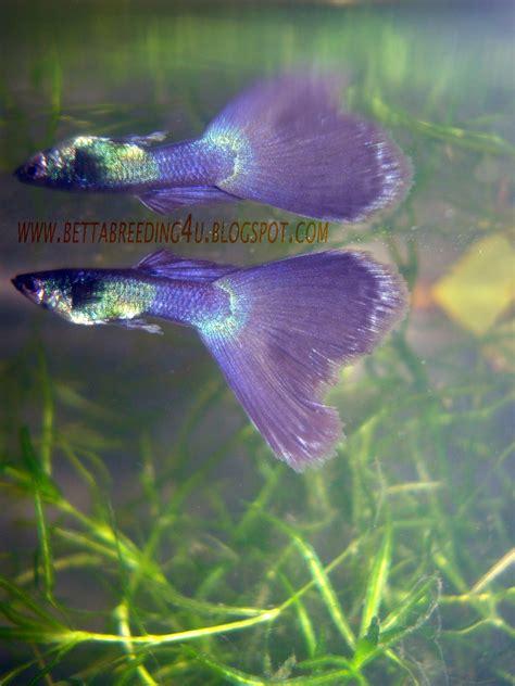 betta fish moscow black guppies