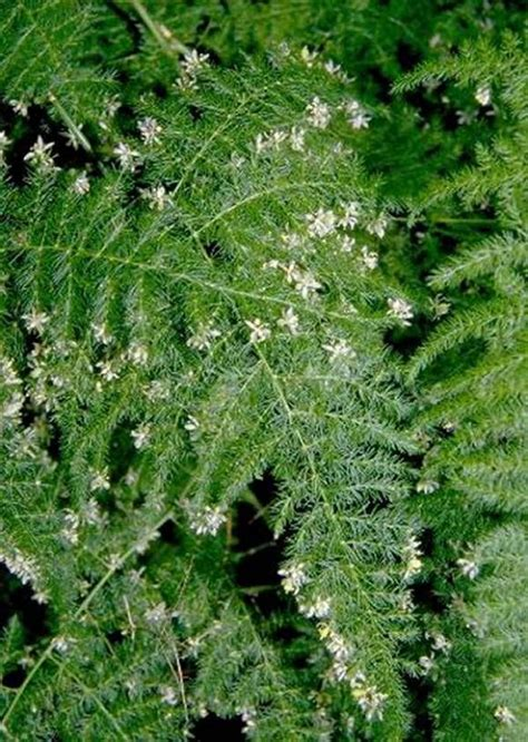 plants flowers asparagus plumosus