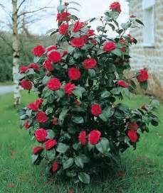 cam 233 lia kramer s supreme arbustes 224 floraison printani 232 re