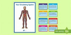 Circulatory System Display Pack Y6