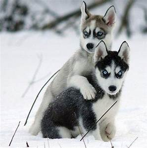 cute husky puppies in snow wallpaper | Zoe Fans Blog ...