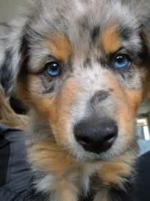 Blue Merle Australian Shepherd Puppies