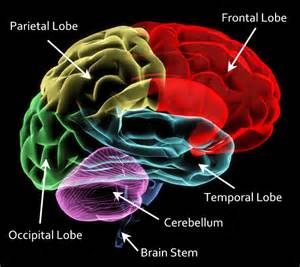 Parts of Frontal Lobe of Brain