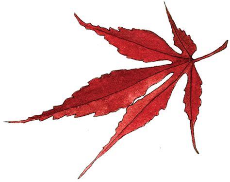 maple leaves japan japanese maple leaf helen krayenhoff