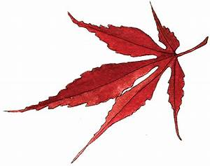 japanese maple leaf | Helen Krayenhoff
