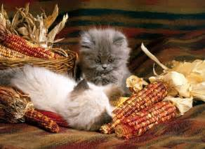 thanksgiving cat november kittens cats animals background wallpapers on