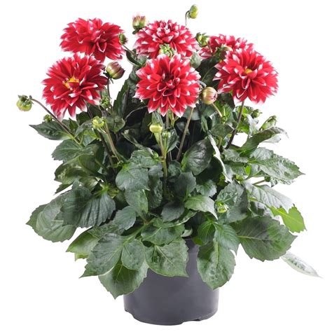 plant dahlias in pots plant dahlia 140mm assorted bunnings warehouse