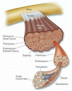 Diagram Of Muscle Tissue  I Love This  No Wonder We Are So Strong  Look At All Those Fibers