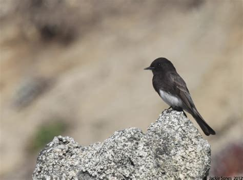 the natural history of bodega head black birds and