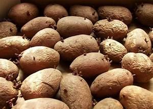 Kartoffeln Lagern Ohne Keller : rosara sehr zeitige fr hkartoffel ertragreiche fr hsorte festkochend ~ Frokenaadalensverden.com Haus und Dekorationen