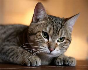 Cute Bobcat Kitten Hd House Cat Wallpaper Cats - Litle Pups
