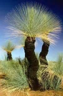 Grass Trees Australia