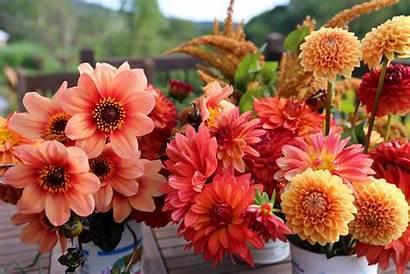Dahlias Summer Dahlia Gardens Flowers Garden Performing