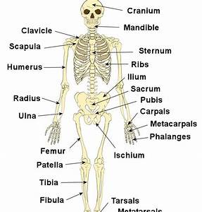 Hungry4fitness   G C S E Revision On The Skeleton