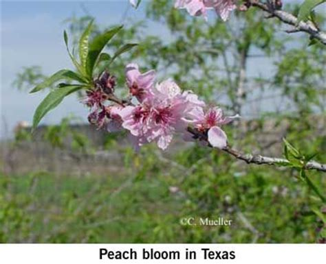 pruning a peach tree gardening pinterest