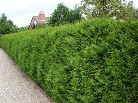 thuja occidentalis brabant stādam lv